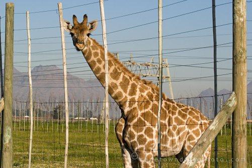 gerry_giraffe_img_6796